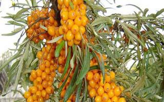 Какие витамины содержатся в облепихе: витаминный состав и влияние на организм