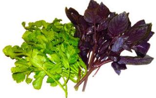 Базилик: польза и вред для здоровья организма
