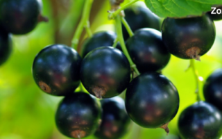 Какие витамины содержатся в черной и красной смородине: разновидности и химия полезной ягоды