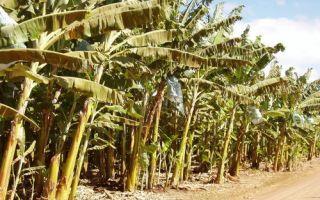 Какие витамины содержатся в банане: перечень полезных свойств и питательная ценность