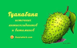 Гуанабана: польза и вред для здоровья
