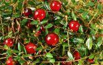 Какие витамины в клюкве: состав и ценность ягоды