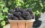 Какие витамины в ежевике: польза и вред ягоды