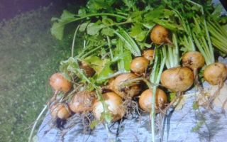Какие витамины в репе: польза и вред овоща, состав