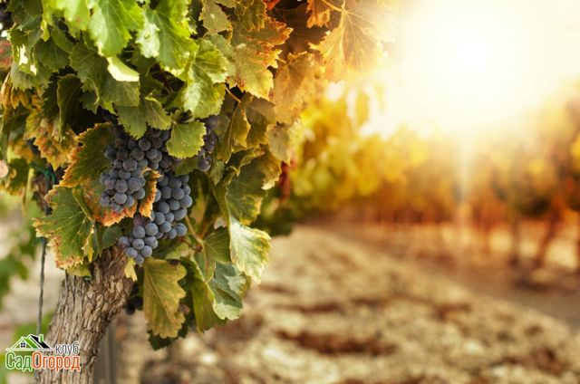 Какие витамины содержатся в винограде?