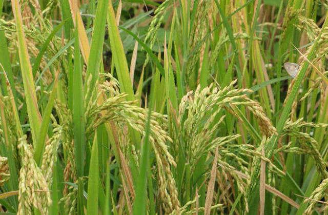Какие витамины содержатся в рисе?