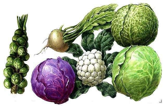 Какие витамины содержатся в капусте (белокочанной, цветной, квашеной, морской)?