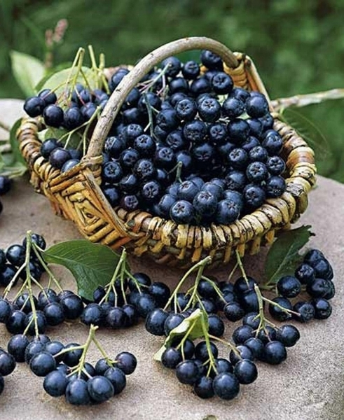Черноплодная рябина: польза и вред для здоровья