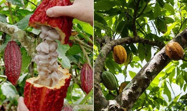 Какао-порошок: польза и вред для здоровья