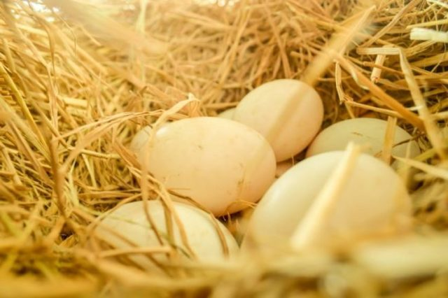 Утиные яйца: польза и вред для организма