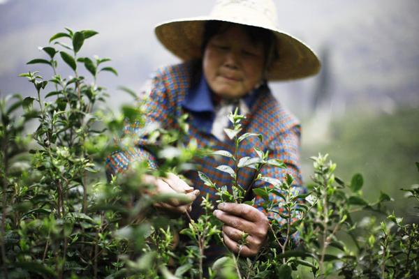 Белый чай: польза и вред для организма