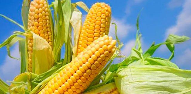Кукурузная каша: польза и вред для здоровья