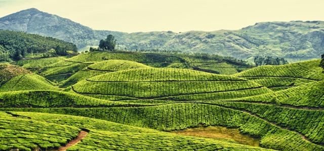 Зеленый чай: польза и вред для организма