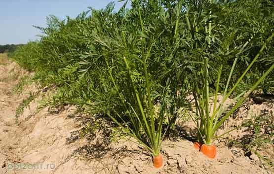 Морковная ботва: польза и вред для организма
