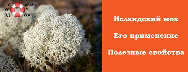Исландский мох: лечебные свойства и противопоказания