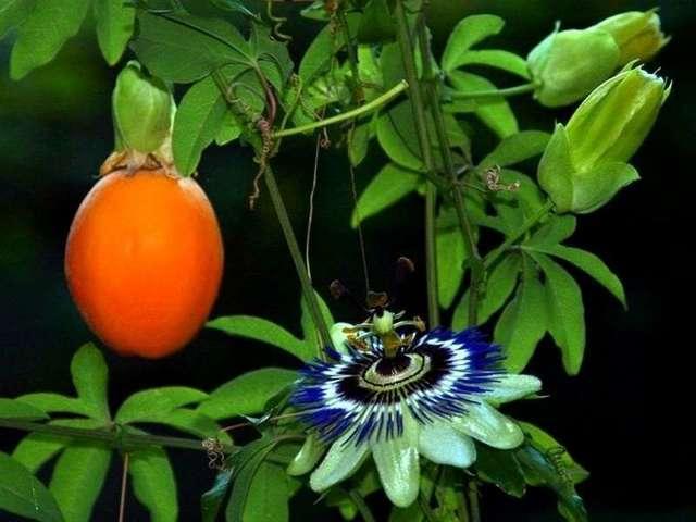 Маракуйя: польза и вред для здоровья организма