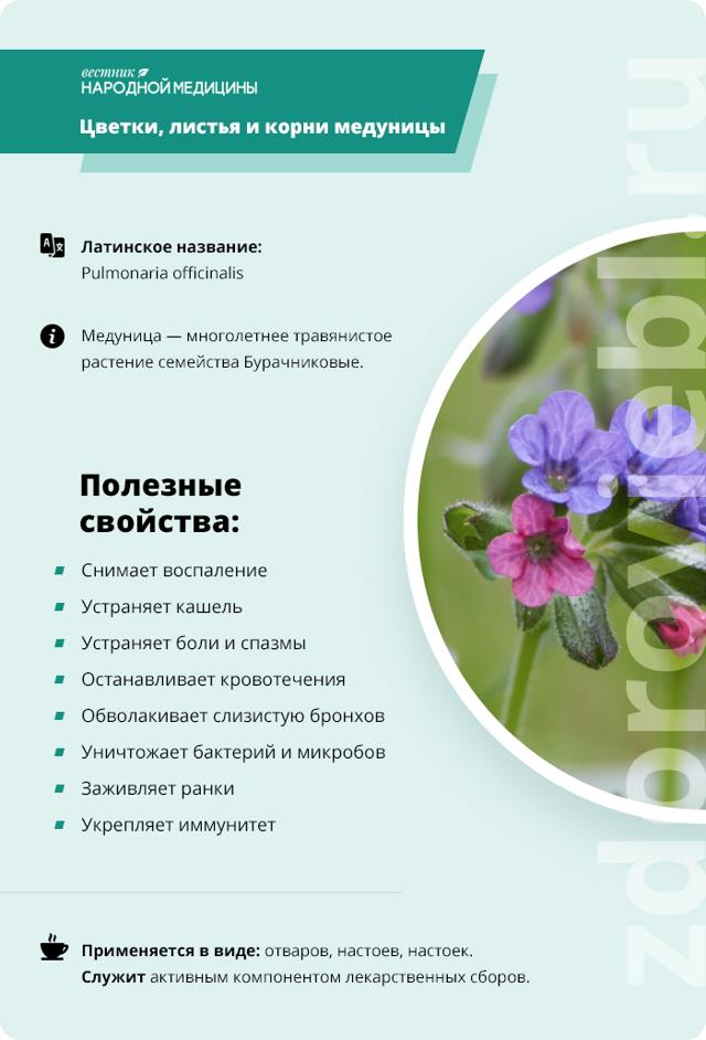 Медуница: лечебные свойства и противопоказания