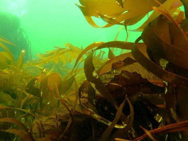Морская капуста: польза и вред для организма