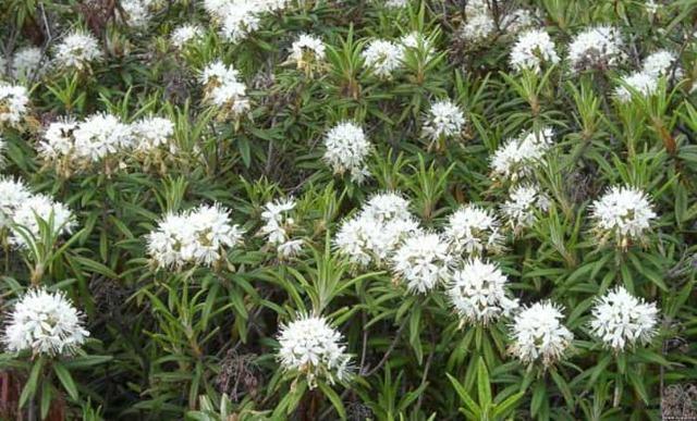 Багульник болотный: лечебные свойства и противопоказания