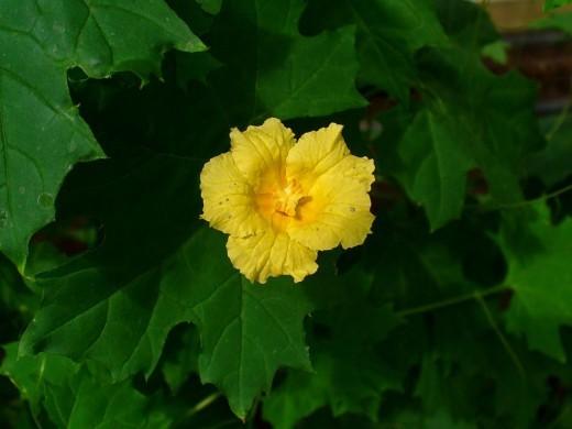 Момордика: полезные свойства и противопоказания
