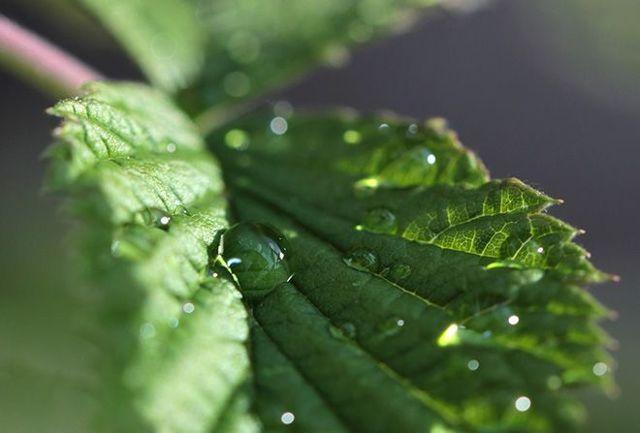 Мята: польза и вред для здоровья организма