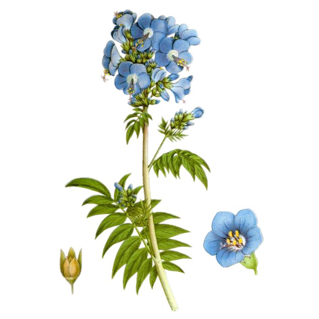 Синюха голубая: лечебные свойства и противопоказания