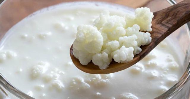 Молочный гриб: польза и вред для организма