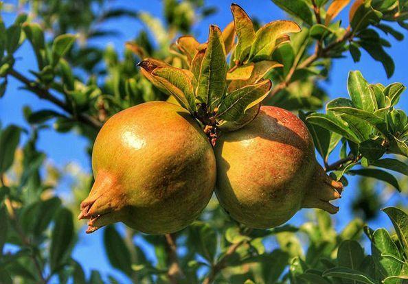 Гранат: польза и вред для здоровья организма