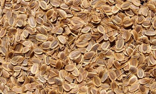 Семена укропа: польза и вред для здоровья