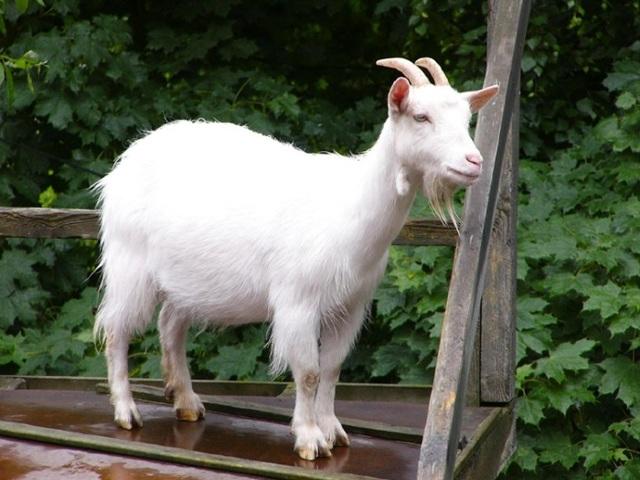 Мясо козлятины: польза и вред для организма