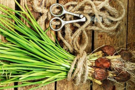 Репчатый лук: польза и вред для здоровья организма