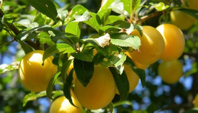 Алыча: польза и вред для здоровья организма