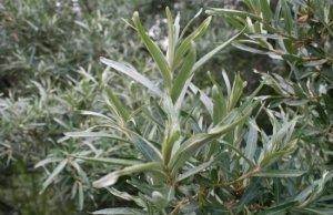Листья облепихи: лечебные свойства и противопоказания
