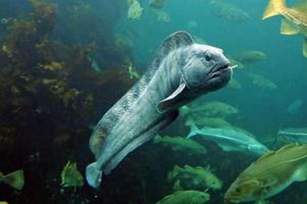 Рыба зубатка: польза и вред для организма