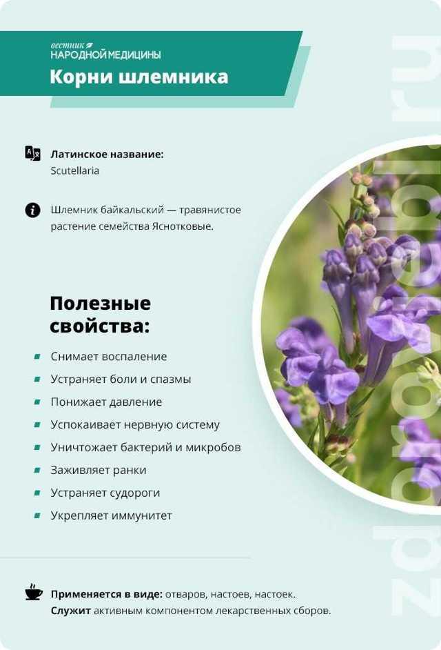 Шлемник байкальский: лечебные свойства и противопоказания