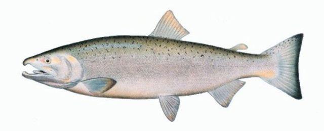 Рыба кета: польза и вред для организма