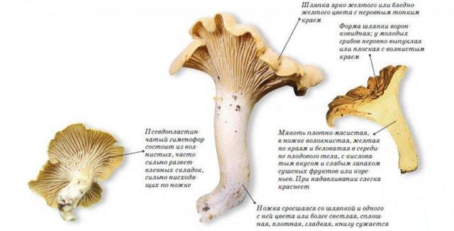Грибы лисички: польза и вред для организма