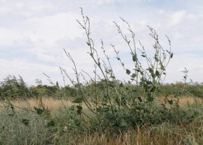 Лебеда: лечебные свойства и противопоказания