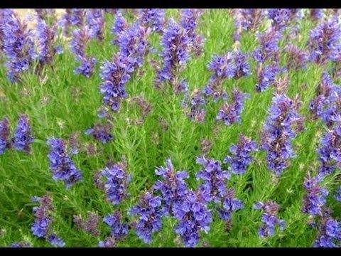Лекарственный иссоп – описание растения, выращивание и использование в медицине  Видео
