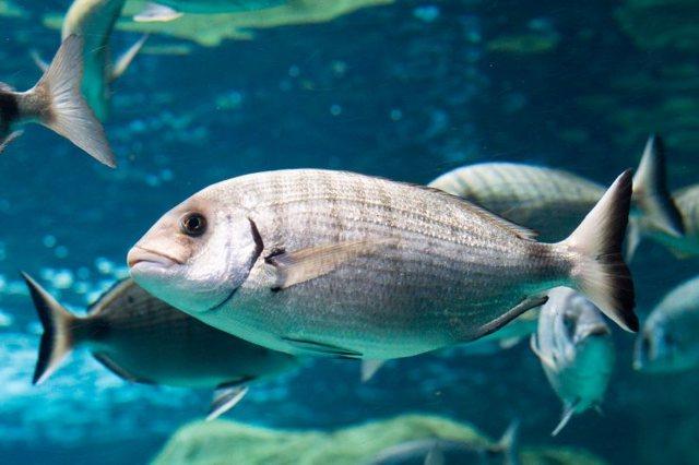 Рыба дорадо: польза и вред для организма