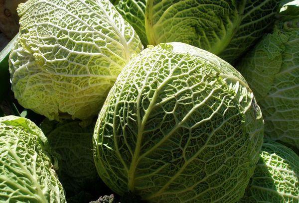 Савойская капуста: польза и вред для здоровья